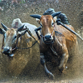 cow race in west sumatra by Don Borland - News & Events World Events ( don borland, pacu jawi, westsumatra )