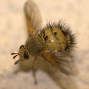 Hedgehog Fly or Tachinid Fly