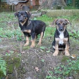 by Drago Ilisinovic - Animals - Dogs Puppies