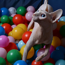 Boo in the ball pit by Graham Ellis - Animals - Cats Playing ( playing, cat, sphinx, big eyed cat, hairless ct, coloured balls, pink cat )