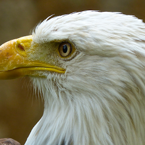 Bald Eagle by Laura Payne - Animals Birds ( face, eagle, neck, stare, white, still, prey, bald, wait, yellow, feather, rapter, bird, side, beak, left, head, animal, eye,  )