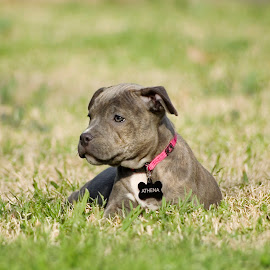 Athena by Tailina Rochow - Animals - Dogs Puppies ( pitbull, puppy, pit, baby, young, animal )
