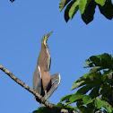 Bare-thoated Tiger Heron