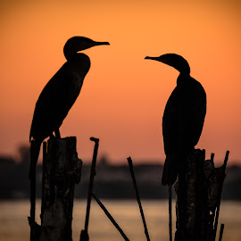 gossip cormorants above the lake by Lupu Radu - Animals Birds ( sunset, cormorants, lake, birds )