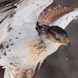 Ferruginous Hawk by Pamela Beale - Animals Birds ( north american, bird, predator, predatory, ferruginous, wings, beak, hawk, eye )