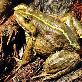 by Gabry  Nicole - Animals Amphibians