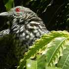 Asian Koel(Female)
