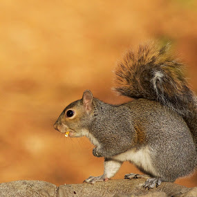 Kernel Of Corn by Roy Walter - Animals Other Mammals ( animals, nature, wildlife, other mammal, squirrel )
