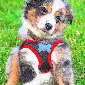 Blue Merle Aussie.. by Steve Arthur - Animals - Dogs Puppies ( aussie dog, blue merle aussie, mini aussie, australian shepherd )