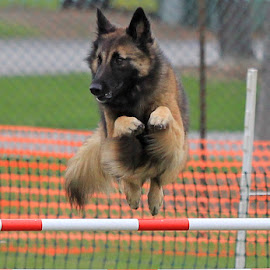 Agility Action by Docterv2 Miller - Animals - Dogs Running ( action photo, belgian tervuren, jumping, leaping, dog sports )