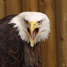 Noisy Sam by Garry Chisholm - Animals Birds ( bird, garry chisholm, eagle, nature, wildlife, prey, raptor )