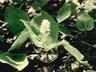 زنبق الوادي