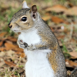 Sunday Mornings Best 24 by Terry Saxby - Animals Other Mammals ( terry, florida, zephyrhills, usa, saxby, nancy, squirrel )