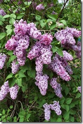 20020611_Dcp_0670_Lilac