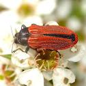 Castiarina erythroptera