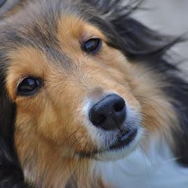 Shetland Sheepdog by Viana Santoni-Oliver - Animals - Dogs Portraits ( pet, shetland sheepdog, white, brown, dog, sheltie, black, portrait, close-up, mammal, animal )