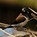Black-faced munia