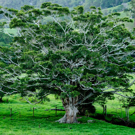 Old beauty by Kim Stecina - Nature Up Close Trees & Bushes ( timber, old, fauna, green, lush, landscape, field, paddock, tree, nature, natural, treescape, branches )