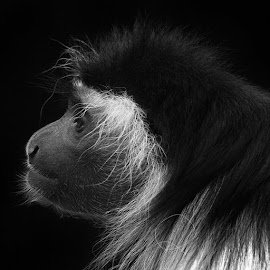 My favorite shot in this group. I love the light, pose and look on the monkey's face. by Mark Lent - Animals Other Mammals