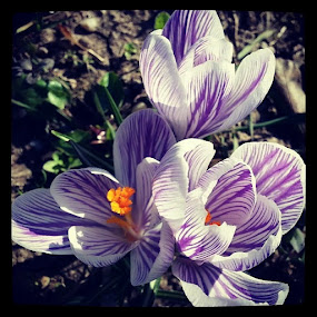 Spring flowers by Daniela Murat - Instagram & Mobile Android