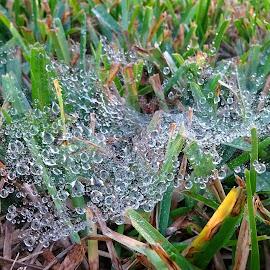 Wet spiderweb by Judy Dean - Nature Up Close Webs ( grass, spiderweb, dew, web, wet )