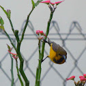 yellow bellied sunbird (juvenile)