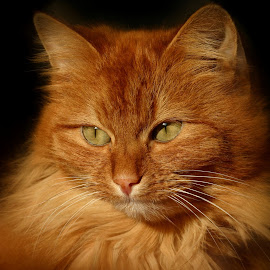 Enjoying the Sun by John Phielix - Animals - Cats Portraits ( cat, red, bright, sunlight, portrait,  )