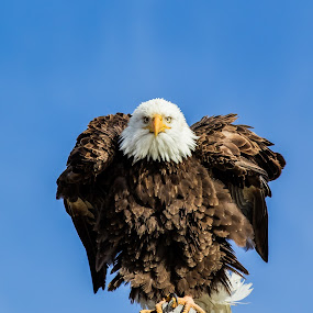Bald Eagle Swagger by Billy Brooks - Animals Birds ( grooming, perched, blue sky, bald eagle )