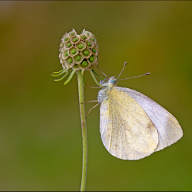 Southern Small White by Simon Kovacic - Animals Insects & Spiders ( pieris, butterfly, southern small white, pieridae, pieris mannii )