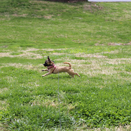 A day at the park by ShaDonna Burnam - Animals - Dogs Running ( playing, dogs, running )