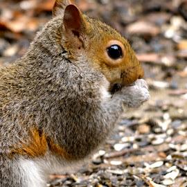 Sunday Morning Visitor 2 by Brian Shoemaker - Novices Only Wildlife ( birdfeeder, backyard, visitor, squirrel, feeder )