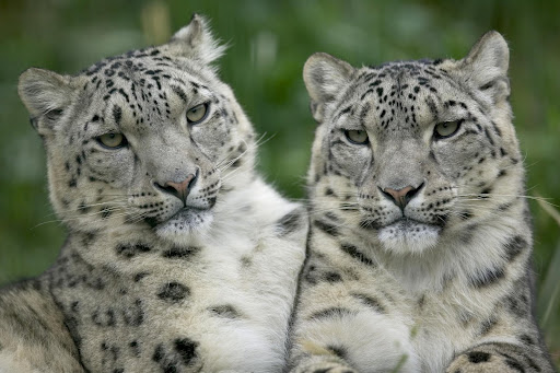 pictures of cute white leopard wildlife