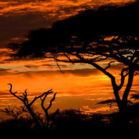 acacia sunset by Gene Myers - Landscapes Sunsets & Sunrises ( shotsbygene, clouds, acacia, sunset, trees, tanzania, gene myers, , golden hour, sunrise )