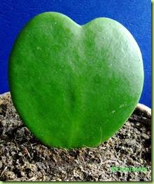 pianta grassa a cuore hoya kerrii