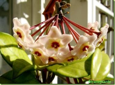Hoya Carnosa Fiore