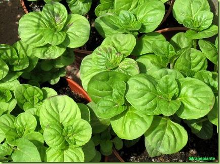 basilico foglie-tonde