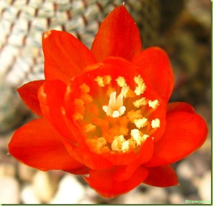 fiore-Rebutia-heliosa