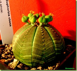 Euphorbia-obesa-capsule-Africa