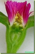 aptenia-fiore-sezione-4