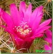 Fiore-rosa-mammillaria-zeilmanniana