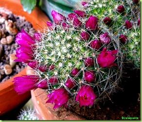 Mammillaria zeilmanniana-fiori 2008-