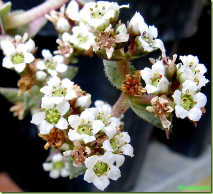 fiori crassula bianchi profumati