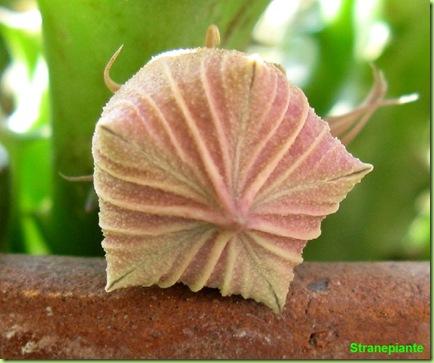 Huernia keniensis bocciolo fronte