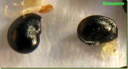semi Copiapoa hypogaea var. barquitensis