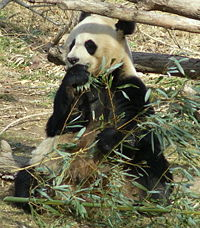 200px-Giant_Panda_Washington_DC.JPG
