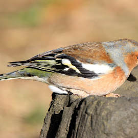 Chaffinch Male by John Davies - Animals Birds ( wwt llanelli, male chaffinch, chaffinch, john davies, tamron 150-600, canon eos60d )