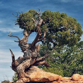 Twisted Life by Jackie Stoner - Landscapes Prairies, Meadows & Fields ( twisted, tree, utah, green, bark, needles overlook )