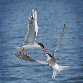 Forster Tern Mates Love Affair In The Air by Leslie Reagan - Animals Birds ( shorebirds, forster terns, terns, birds, birds in flight,  )