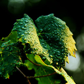After Rain......... ( Hujan di musim kemarau...) by Esyam Din - Nature Up Close Leaves & Grasses