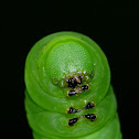 Pawpaw sphinx moth caterpillar